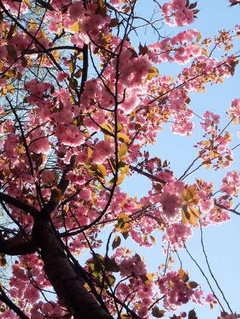 Détail de Vibrant Pink Spring Blossom Cherry Tree Banque d'images - 4741281