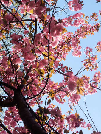 Detail of Vibrant Pink Spring Cherry Blossom Tree Stock Photo