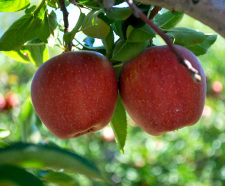 Pair of Red Apples Growing on Tree in Autumn Orchard