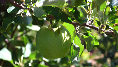 dappled: Green Apple Growing in Autumn Orchard Stock Photo