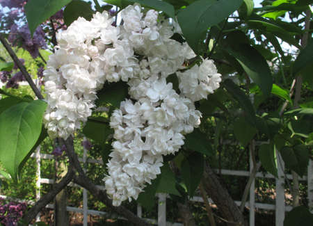 White lilacs growing by white picket fence in Spring Stock Photo - 13320041