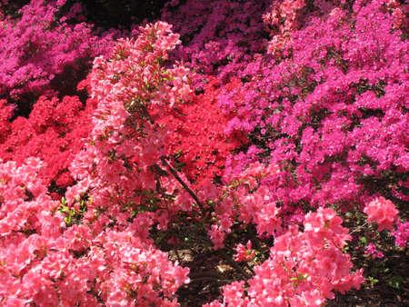 azaleas: Spring azaleas blooming in pink, purple, and red