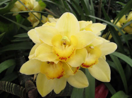 Garden  exotic yellow orchid grown in greenhouse environment photo
