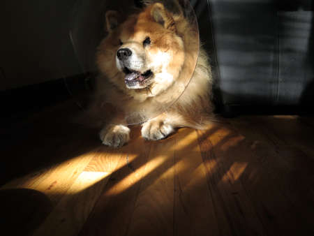 recuperate: Chow Chow Dog Wearing Head Cone (\\\\\\\Elizabethan Collar\\\\\\\) After Surgery