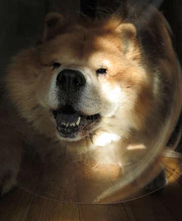 elizabethan: Chow Chow Dog Wearing Head Cone (\\\\\\\Elizabethan Collar\\\\\\\) After Surgery