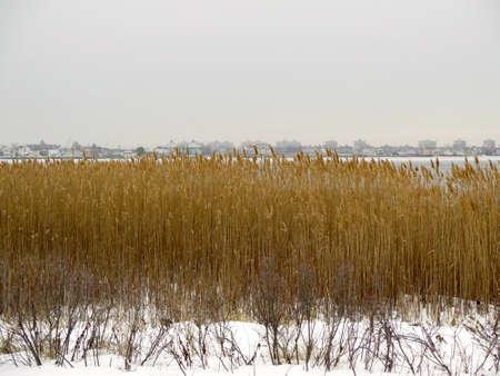 queens: Landscape of golden reeds in the winter snow on Jamaica Bay, Queens, New York Stock Photo