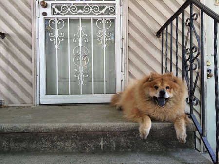 guard house: Smiling chow chow guard dog resting on front steps of house