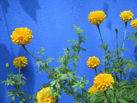 garden marigold: Golden yellow marigolds grow against a blue background