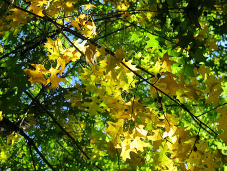 changing colors: Changing colors of Autumn leaves in oak trees