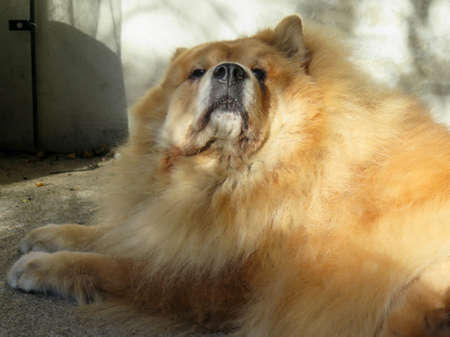 Red pet chow chow dog sunbathing outdoors Фото со стока