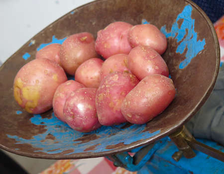 russet potato: Red organic potatoes on antique metal scale at produce market