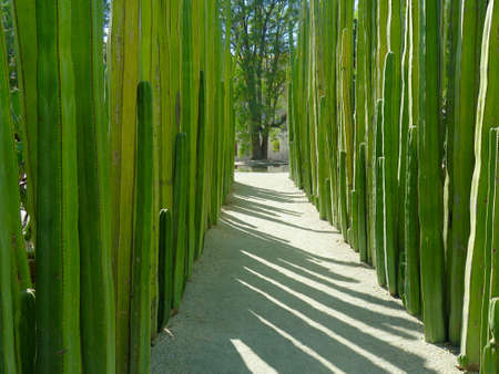 oaxaca: Garden of Saguaro Cactus Plants in Mexico Stock Photo