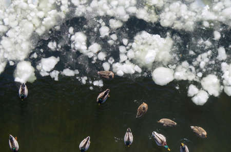 canadian geese: Canadian Geese and Mallard Ducks on Frozen Ice of Delaware River, Aerial View