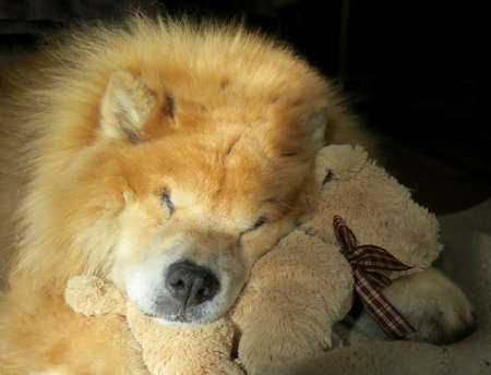 Pet chow chow breed dog napping with his stuffed dog