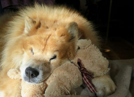 Chow Chow Dog Napping with Stuffed Dog Animal