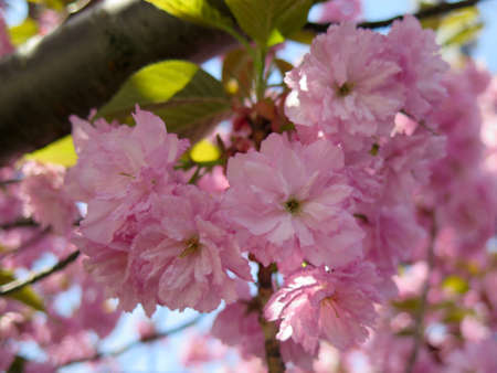tree detail: Detail of New Spring Cherry Blossom Tree