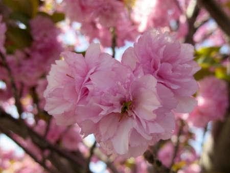 flor de cerezo: Detalle de la Nueva Primavera Cherry Blossom Árbol