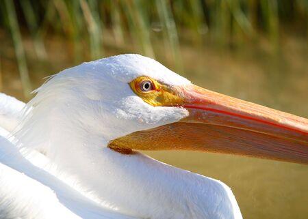 pelican Banco de Imagens - 2832934