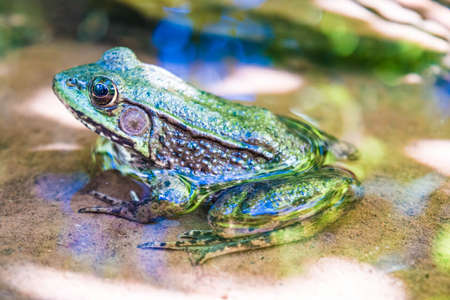bullfrog: Bullfrog sitting in water