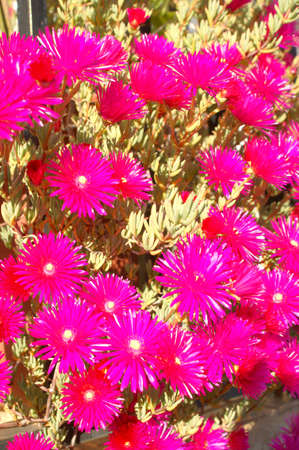 sunbeams: Fuchsia sunbeams Stock Photo