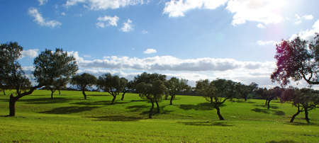Pasture of oaks and green meadow with blue sky splashed with clouds 2