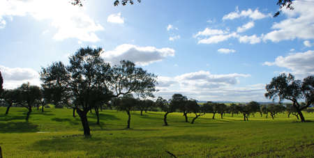 Pasture of oaks and green meadow with blue sky splashed with clouds 3