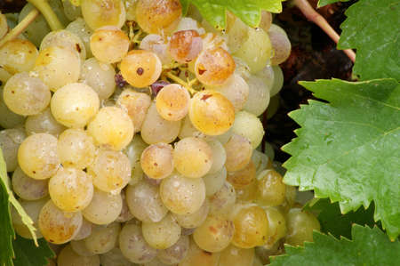 Beautiful golden grapes and grape leaves with water droplets
