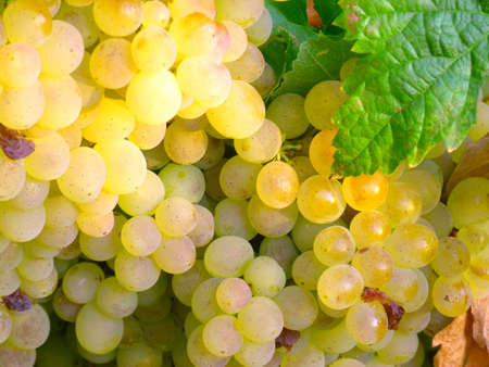 Cluster of white grapes on the vine Stock Photo
