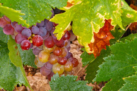 Red wine grapes with water droplets and green leaves