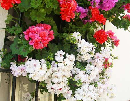 fuchsias: White, red geraniums and fuchsias on a window