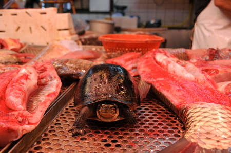 gutted: Turtle walks among gutted fish at wet market Stock Photo