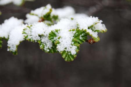 Snow flakes piled on vivid green pine leaf Stock Photo - 10576418