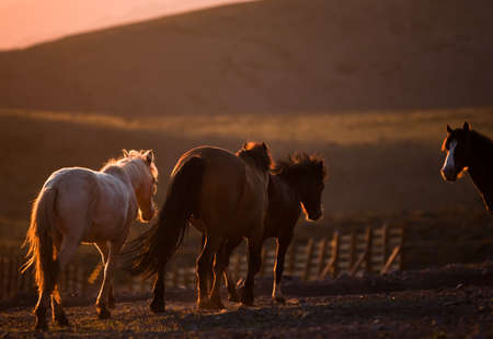 Three horses trot on a dusty mountain photo
