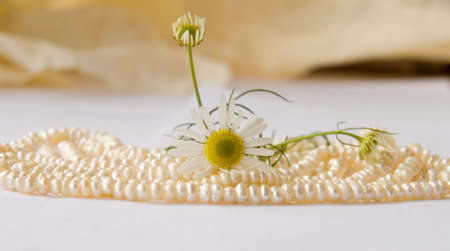 nice pearls and 3 camomiles Stock Photo - 3672390