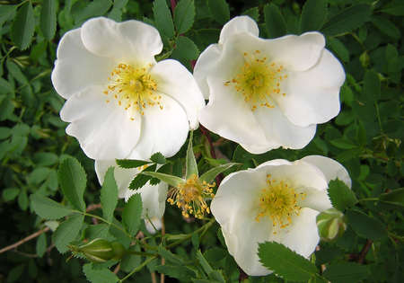 rosoideae: Rosa gigantea (Collett ex Crep.). Syn. R. x odorata gigantea. Scientific classification - Kingdom: Plantae, Division: Magnoliophyta, Class: Magnoliopsida, Order: Rosales, : Rosaceae, Sub: Rosoideae, Genus: Rosa