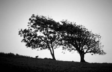 Two frangapani trees and donkey photo