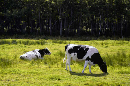 Two black and white cows grazing in a field photo