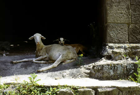 Goats resting in shade in abandoned windmill