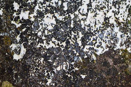 grown up: Close up dark lichen grown on the cement wall