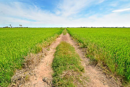 The country road side between green rice field and beautiful blue sky. Stock Photo