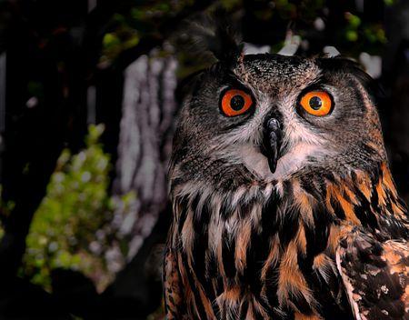Euro-Asian Eagle Owl