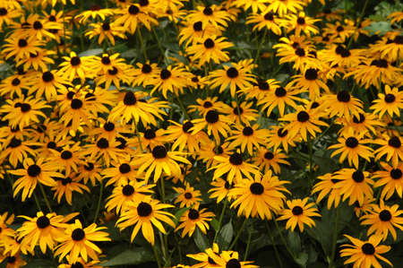 Field of Black-Eyed-Susans photo