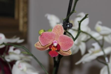 naturaleza: Orquidea flor salvaje de la selva rosa roja