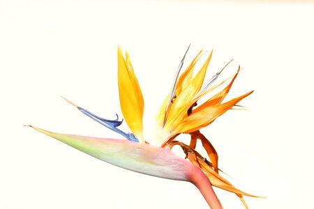 ave: Flor del ave del paraiso