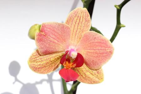 selva: Orquidea flor salvaje de la selva rosa roja