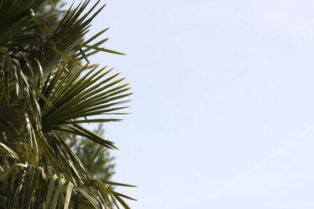 azul: palmera con fondo azul de cielo