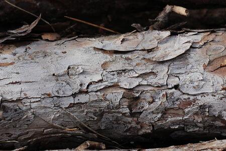 arbol: tronco de pino