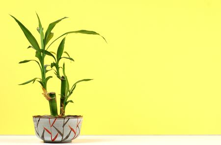 houseplant: A young bamboo plant on yellow and white background. Stock Photo