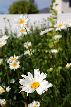 A suburban flower bed of beautiful Daisies. Stock Photo - 1319192