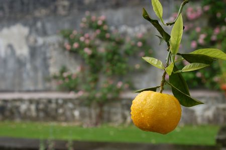 An Orange or Tangerine on a tree with water droplets